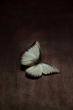 Lisa Bonowicz WHITE BUTTERFLY LYING ON WOODEN FLOOR Insects