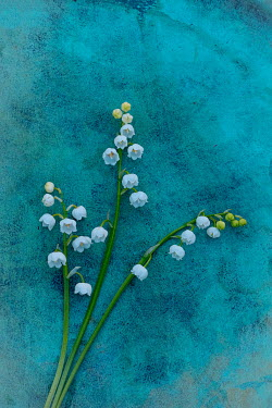 Magdalena Wasiczek LILY-OF-THE-VALLEY ON TURQUOISE BACKGROUND Flowers