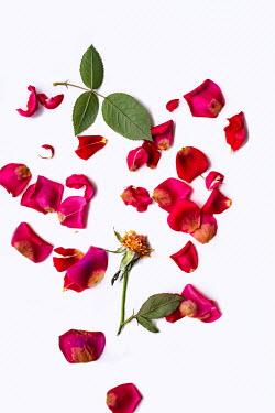Magdalena Wasiczek SCATTERED RED ROSE PETALS Flowers