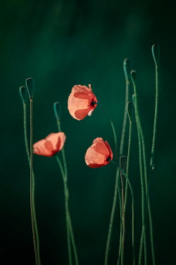Magdalena Wasiczek RED POPPIES AND STEMS OUTDOORS Flowers/Plants