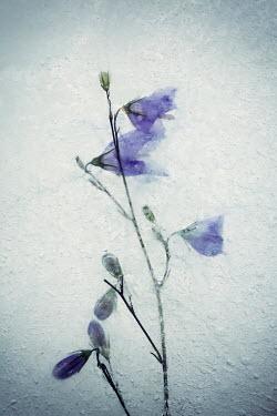 Carmen Spitznagel FROZEN BLUE FLOWERS IN ICE Flowers/Plants