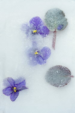 Magdalena Wasiczek FROZEN BLUE FLOWERS IN ICE Flowers/Plants