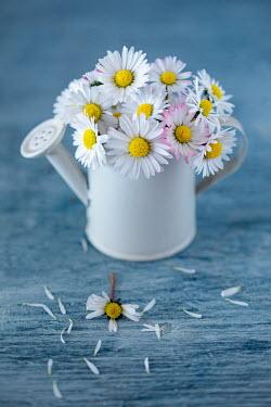 Magdalena Wasiczek DAISIES IN MINIATURE WATERING CAN Flowers