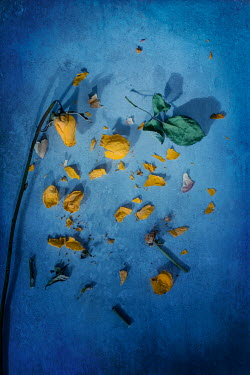 Magdalena Wasiczek SCATTERED YELLOW ROSE PETALS ON FLOOR Flowers