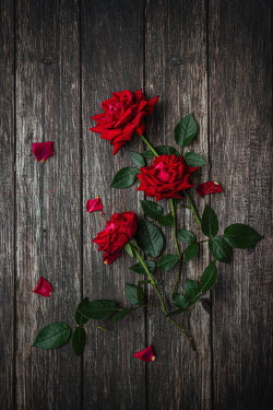 Magdalena Wasiczek RED ROSES ON WOODEN FLOORBOARDS Flowers