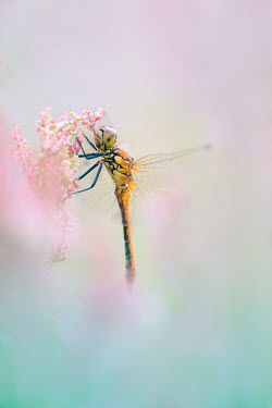 Magdalena Wasiczek DRAGONFLY ON PINK FLOWERS OUTDOORS Insects
