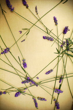 Miguel Sobreira Loose Lavender Stems on Gold Surface