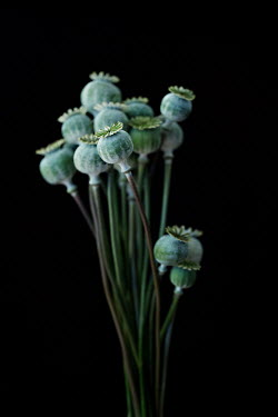 Jaime Brandel BUNCH OF POPPY SEED HEADS Flowers