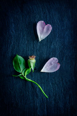 Magdalena Wasiczek PINK HEART-SHAPED ROSE PETALS AND STEM Flowers