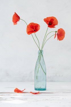 Magdalena Wasiczek Poppies in bottle