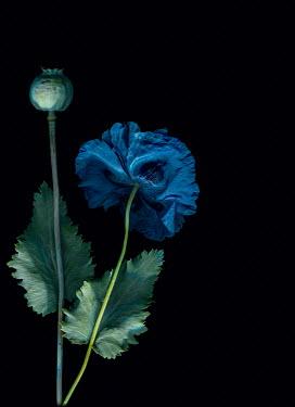 Magdalena Wasiczek Blue flower on black background