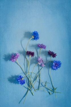 Magdalena Wasiczek Purple flowers on blue background