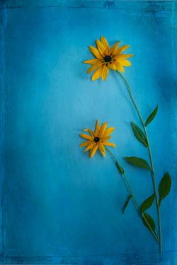 Magdalena Wasiczek Yellow flowers on blue background
