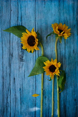 Magdalena Wasiczek Sunflowers on blue background
