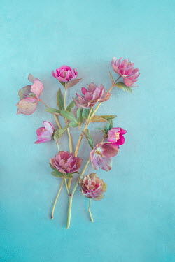 Magdalena Wasiczek Pink flowers on blue background