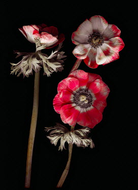 Magdalena Wasiczek Red flowers on black background