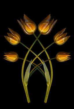 Magdalena Wasiczek Yellow tulip on black background