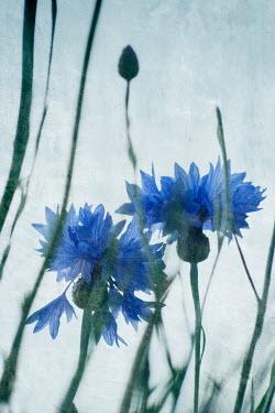 Liz Dalziel Blue flowers