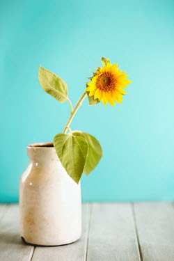 Stephanie Frey SUNFLOWER IN WHITE VASE WITH TURQUOISE WALL Flowers