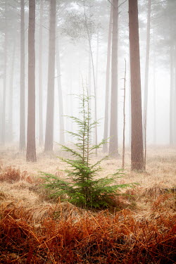 David Baker LITTLE FIR TREE IN MISTY FOREST Trees/Forest