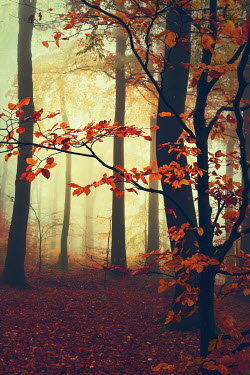 Dirk Wustenhagen MISTY FOREST WITH AUTUMN LEAVES Trees/Forest