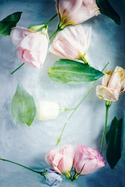 Isabelle Lafrance WILTED PINK FLOWERS FLOATING IN WATER Flowers