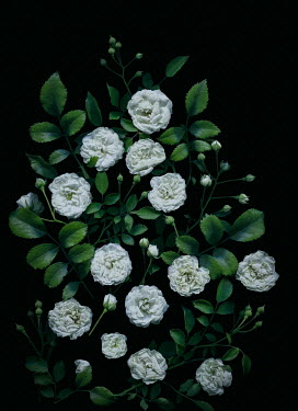 Magdalena Wasiczek WHITE ROSES AND BUDS IN SHADOW Flowers