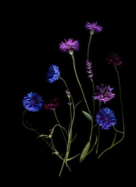 Magdalena Wasiczek PURPLE AND BLUE FLOWERS IN SHADOW Flowers