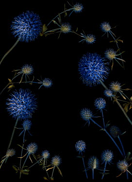 Magdalena Wasiczek BLUE THISTLES AND LEAVES IN SHADOW Flowers