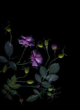 Magdalena Wasiczek PURPLE ROSES AND ROSE HIPS IN SHADOW Flowers