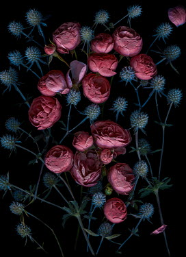 Magdalena Wasiczek PINK ROSES AND BLUE THISTLES IN SHADOW Flowers