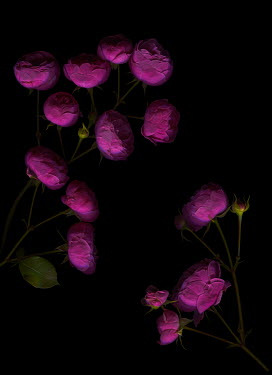 Magdalena Wasiczek PINK ROSES IN SHADOW Flowers