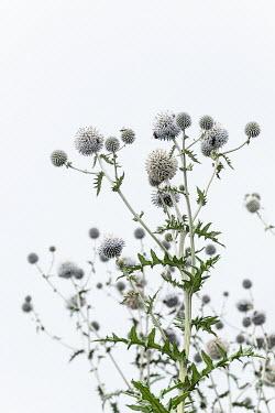 Magdalena Wasiczek WHITE THISTLES OUTDOORS Flowers/Plants