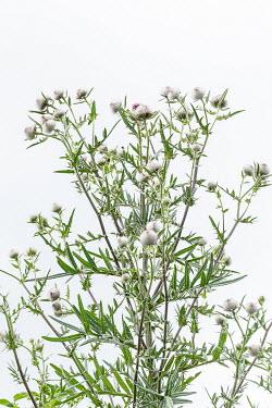 Magdalena Wasiczek WHITE THISTLES Flowers/Plants