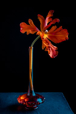 Magdalena Wasiczek ORANGE FLOWER IN THIN GLASS VASE Flowers