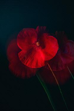 Magdalena Wasiczek BLURRED RED POPPY Flowers
