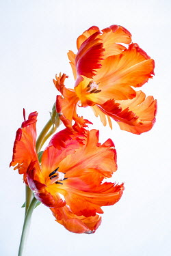 Magdalena Wasiczek TWO ORANGE TULIPS Flowers