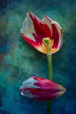 Magdalena Wasiczek DAMAGED PINK AND WHITE TULIP Flowers