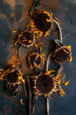 Magdalena Wasiczek WITHERED SUNFLOWERS IN SHADOW Flowers
