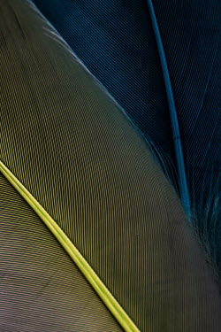Jacinta Bernard CLOSE UP OF BLUE AND YELLOW FEATHERS Miscellaneous Objects