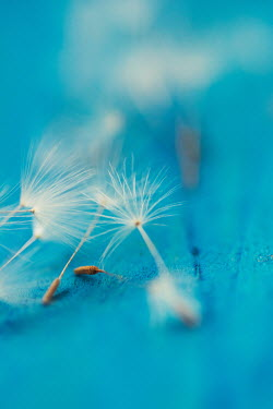 Mohamad Itani CLOSE UP OF DANDELION SEEDS Flowers
