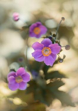 Jaroslaw Blaminsky PURPLE FLOWERS OUTSIDE WITH SUNLIGHT Flowers/Plants