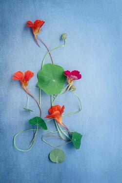 Magdalena Wasiczek ORANGE AND PINK NASTURTIUM FLOWERS AND LEAVES Flowers
