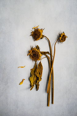 Magdalena Wasiczek THREE WITHERED SUNFLOWERS Flowers