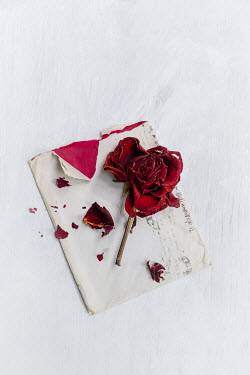 Magdalena Wasiczek RED ROSE AND PETALS ON OLD LETTER Flowers