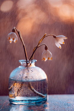 Magdalena Wasiczek SNOWDROPS IN VASE WITH RAIN AND SUNLIGHT Flowers