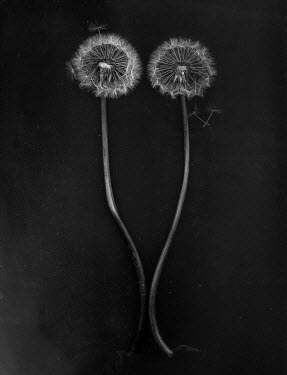 Andreeva Svoboda TWO DANDELION HEADS WITH SEEDS Flowers
