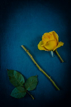 Magdalena Wasiczek YELLOW ROSE WITH CUT STEM AND LEAVES Flowers