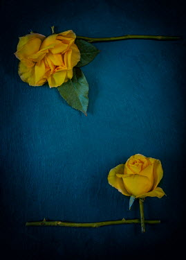 Magdalena Wasiczek YELLOW ROSES WITH CUT STEMS AND LEAVES Flowers
