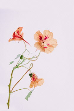 Magdalena Wasiczek ORANGE NASTURTIUM FLOWERS Flowers